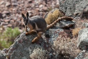 YellowFootedRockWallaby